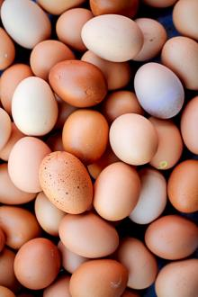 sell Organic Fresh Chicken Table Eggs & Fertilized Hatching Eggs, White and Brown eggs