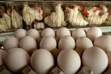 fresh chicken table eggs for sale,,...//
