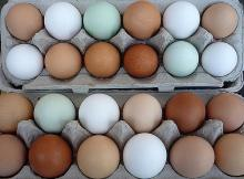 Available  Fresh   Table   Chicken   Eggs  and Fertile Hatching  Eggs
