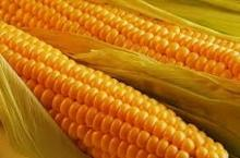YELLOW CORN GMO