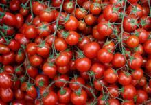 Farm fresh tomato 2017 market price for sale
