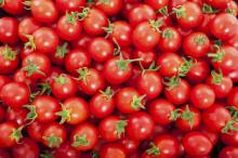 Wholesale super- appetite farm- fresh tomatoes for sale with high quality/ tomatoes with great price