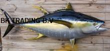 sushi fresh frozen yellowfin  tuna   price  spec: skinless, boneless, dark meat removed size: 5-12lbs,