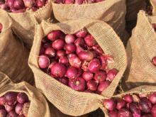 Quality Fresh Red Onion