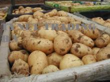 Fresh holland potatoes