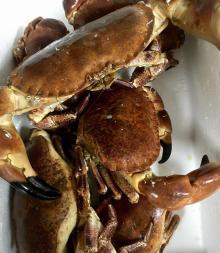 brown crab