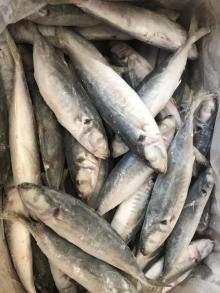 frozen horse mackerel landfrozen