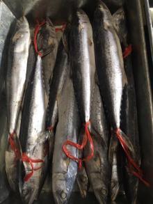 frozen spanish mackerel wr all sizes