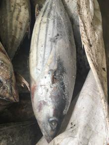 sea brine frozen on board skipjack tuna wr