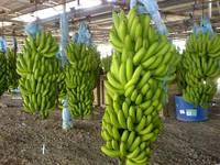 BANANA Ready for Export, FAST N FRESH EXPORT A