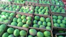 Fresh Juicy and natural mangoes