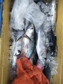 Whole Sale Frozen Horse Mackerel,Salmon , Ribbon Fish ,Eel ,Sea Bass Globefish and Tuna Fish