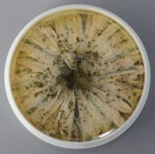 Marinated Anchovies in oil