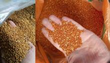 Yellow and red millet
