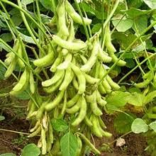 Non-GMO Dried Giant Soybean for sale