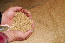 Durum Wheat DAP China