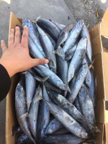Frozen bonito 150-200g seafrozen