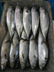 Frozen pacific mackerel 400-500g