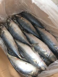 Frozen pacific mackerel 500g up