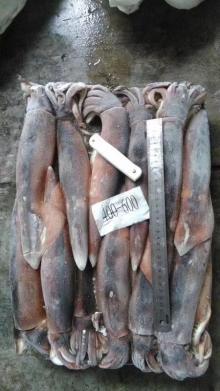 frozen illex squid WR 400-600G ILLEX ARGENTINUS