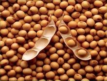 Non-GMO Yellow Soybean, Soybean, Soya Beans New Crop