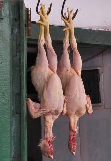 Frozen Halal Whole chicken , Chicken Wings , Chicken Paws , Chicken Gizzards , Quarter leg