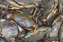 Live Green Mud Crab