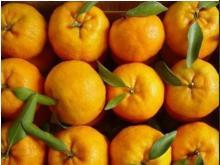 Pokan mandarin/Lugan mandarin