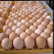 FRESH CHICKEN EGGS FERTILE/ HATCHING CHICKEN EGG/ BROILER CHICKEN EGGS /COBB 500 , ROSS 308