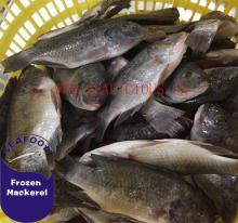 frozen black tilapia fish whole round size 200-300 for sale
