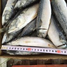 Frozen Mackerel Fish/Pacific Mackerel/Scomber Japonicus