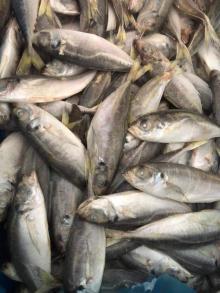 Sea   Frozen   Horse   Mackerel  Fish Trachurus Japonicus whole round scad
