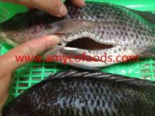 Frozen   Tilapia  Fish gutted and scaled with competitive  price