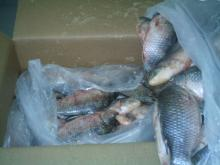Best Quality Frozen Tilapia Whole Round