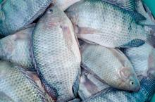 seafood wholesale top quality fresh frozen whole tilapia