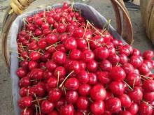 Хорошее качество темно-красная свежая вишня