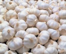Fresh Normal White Garlic (10kg/Mesh Bag)