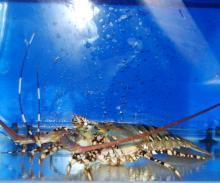 Tiger Lobster