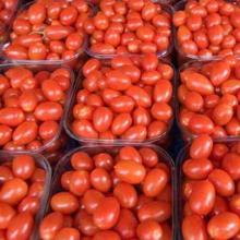 Best Quality Fresh Tomato