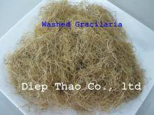 GOLD GRACILARIA / WASHED GRACILARIA / CLEAN GRACILARIA