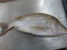 Frozen Emperor fish for sale. Headon, Gutted, Gilled. 30% discount