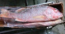 Frozen Red and White Snapper for sale. 30% discount