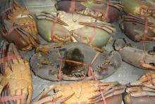 Frozen mud crab.