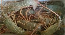 Raw whole Lobster.