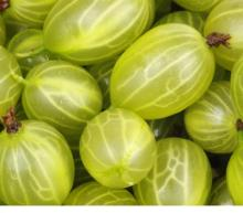 Fresh Gooseberries / IQF Gooseberries now available on sale. 30% discount