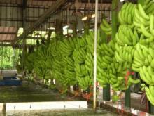 MAKOSSA Banana