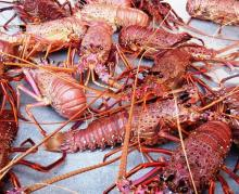 Panulirus Argus - Spiny Lobsters