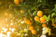 Navel-lane late Oranges