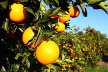 Fresh Juicy Oranges and Valencia - Three Categories ( Premium - Class 1 - Class 2 )