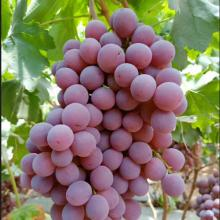 FRESH TASTY & SWEET GRAPES (SEEDLESS SUPERIOR)